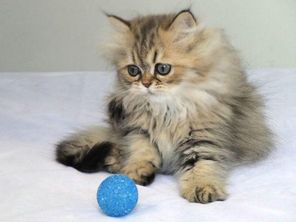 宠物猫的品种及价格